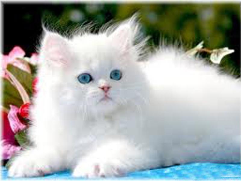 Unduh 76+ Gambar Kucing Putih Paling Bagus Gratis
